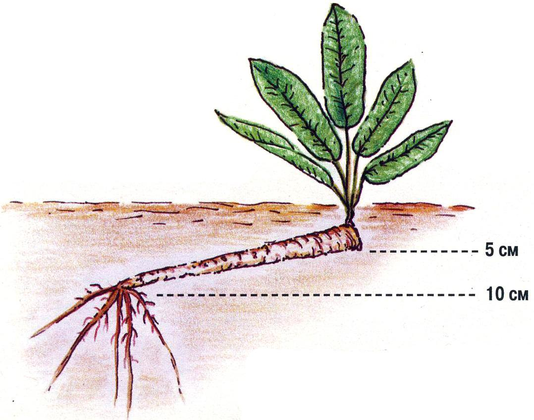Выращивание хрена, технология посадки