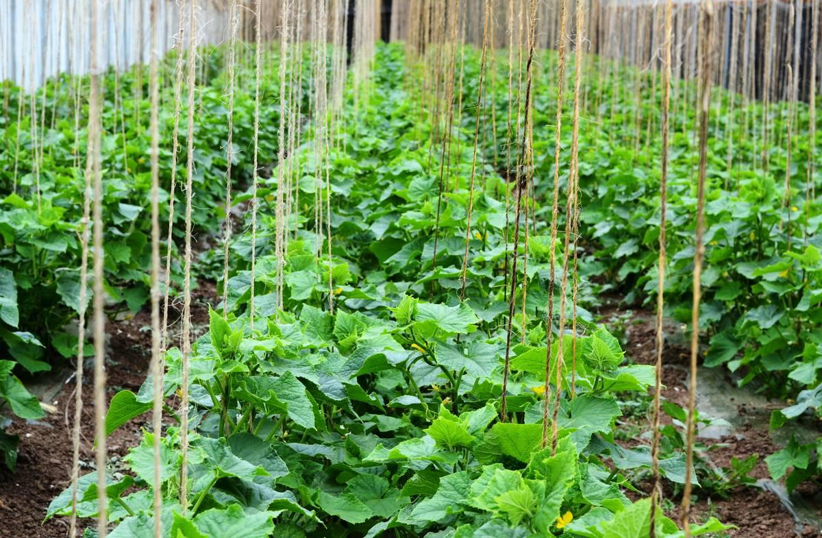 Выращивание огурцов втеплице