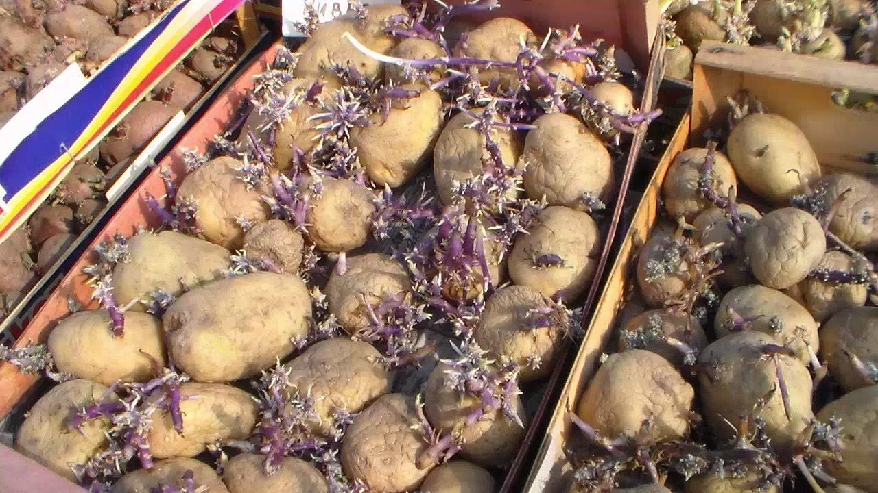 Высокий урожай картофеля