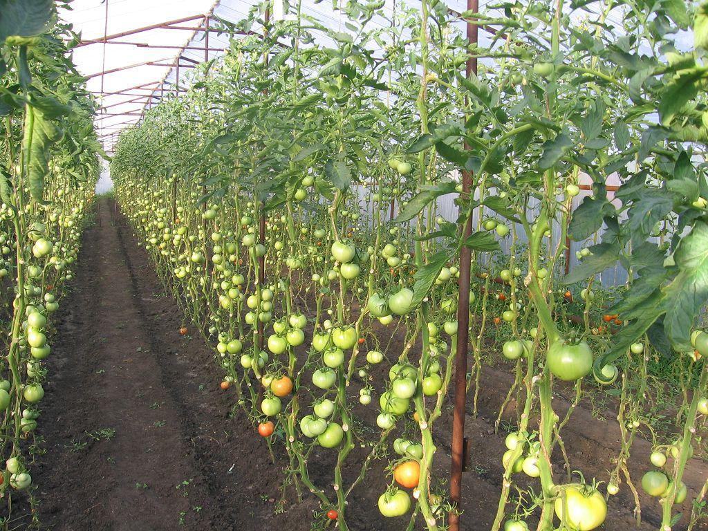 Высокорослые помидоры на грядке