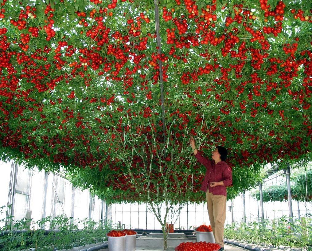 Высокорослые помидоры в теплице