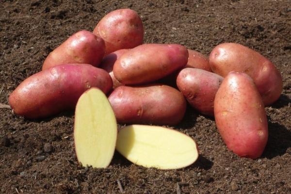 Сорт картофеля фантазия характеристика отзывы