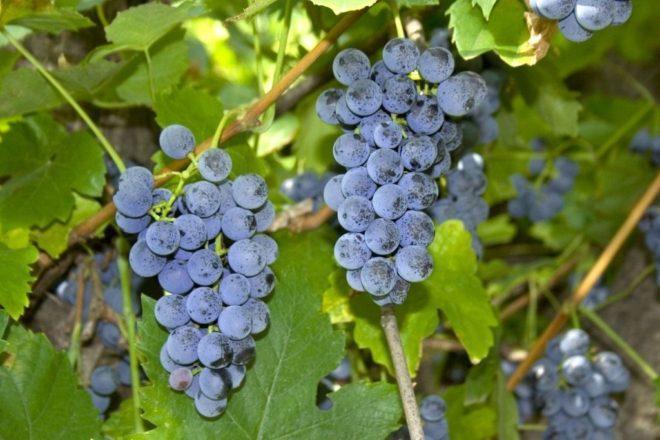 Виноград русский фиолетовый описание сорта фото отзывы