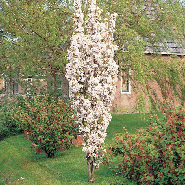 Вишня колоновидная – посадка и уход, какие сорта бывают