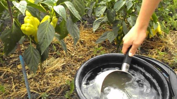 Подкормка рассады дрожжами: пропорции, отзывы. Подкормка рассады перца дрожжами. Подкормка рассады томатов после пикировки дрожжами