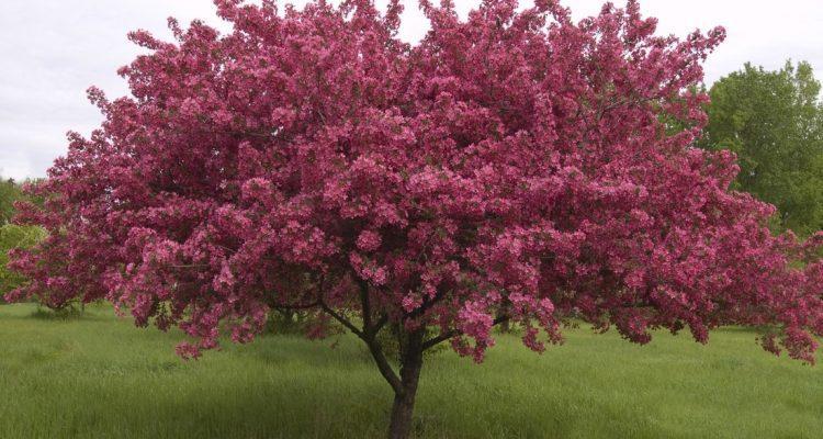 Секреты успешного выращивания декоративной яблони Роялти