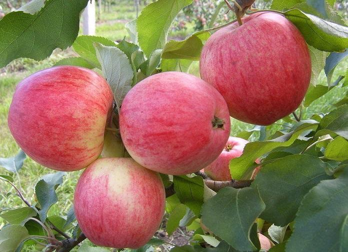 Сорт яблок анис: характеристика, виды, агротехника выращивания || Описание и характеристики сортов яблок Анис алый полосатый свердловский