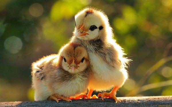 Как определить пол цыпленка? Как различать цыплят по полу?