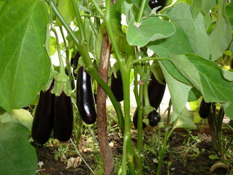 посадка баклажанов в открытый грунт семенами весной