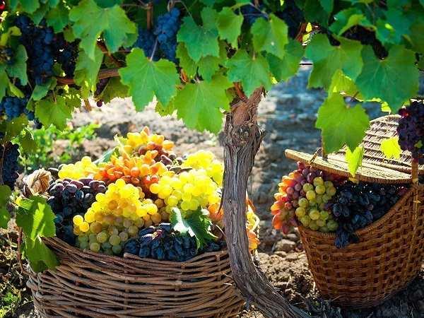 Желтеют листья винограда что делать, чем обрабатывать