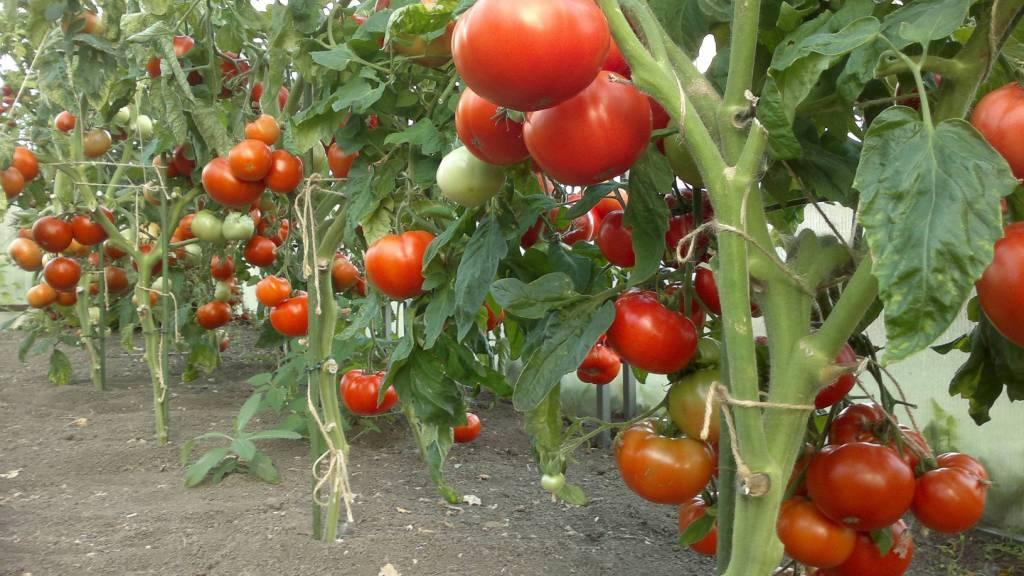 Как вырастить хорошие помидоры в открытом грунте