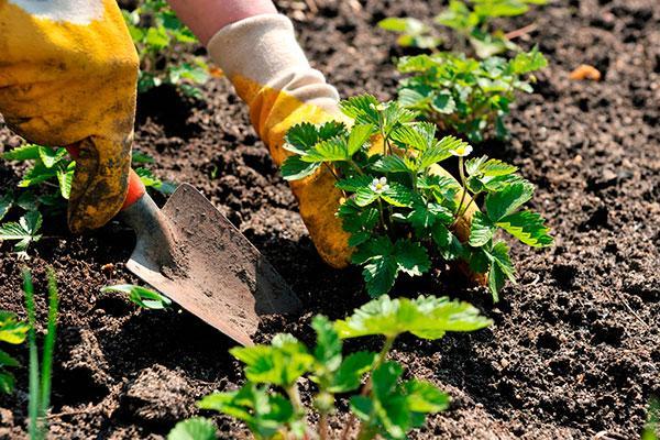 Что лучше посадить после клубники