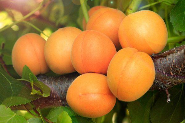 Когда сажать абрикос весной или осенью как пересадить