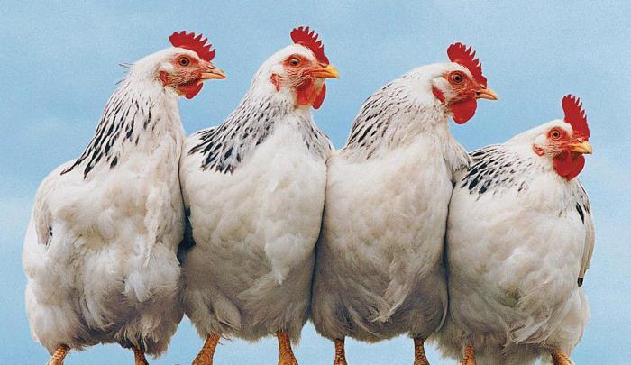 У цыплят отнимаются ноги