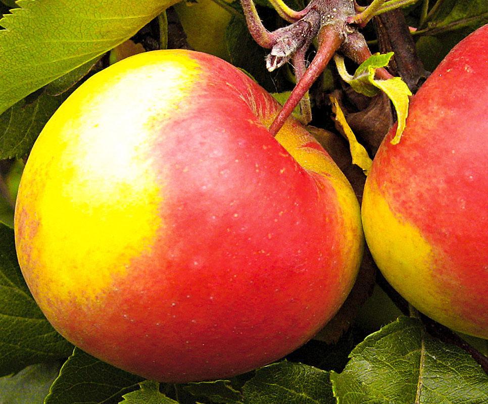 личной яблони для сибири сорта фото и описание наиболее