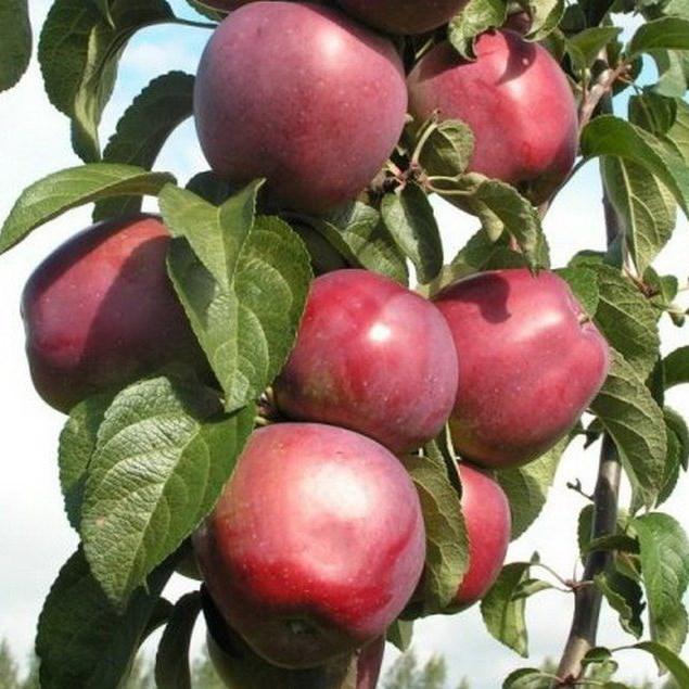 Яблоня имант описание сорта фото отзывы садоводов