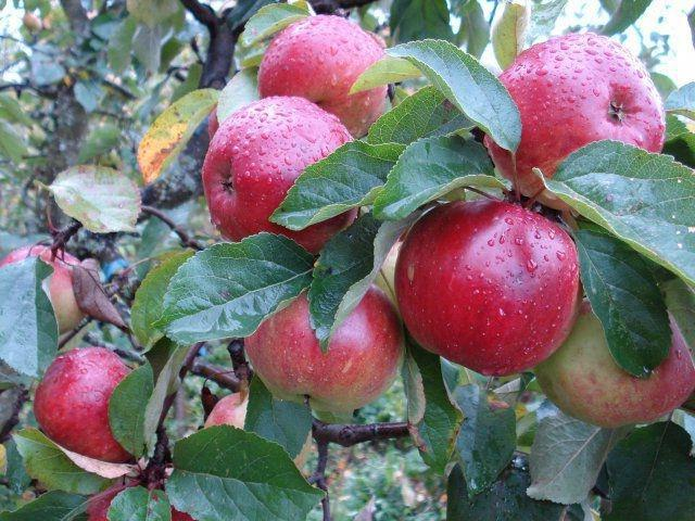 Яблоня Антей: описание и особенности выращивания