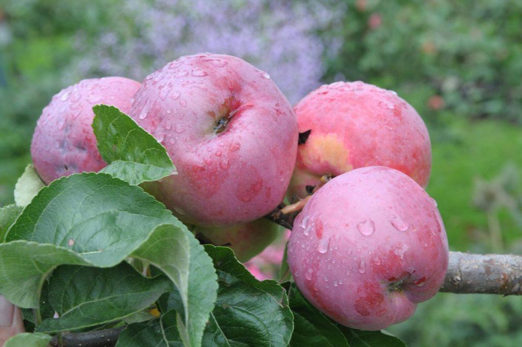 Яблоня Подарок садоводам: описание и характеристики сорта, выращивание, отзывы