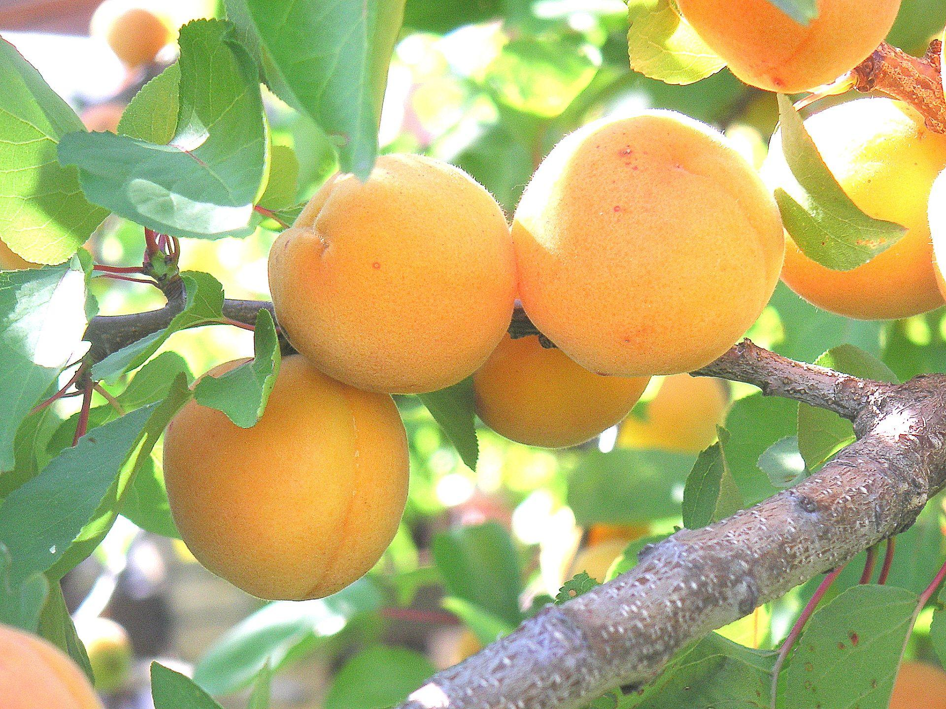 Сорт абрикоса алеша