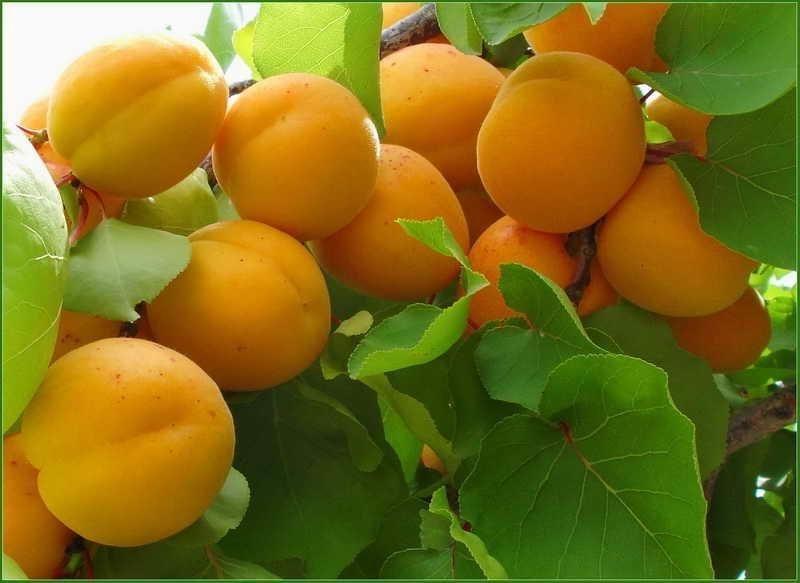 Описание сорта абрикосов Россиянин характеристики плодоношения и ухода
