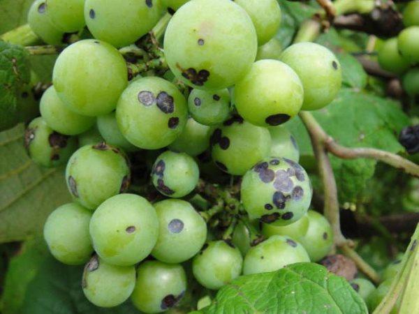 Какой гриб вызывает заболевание винограда