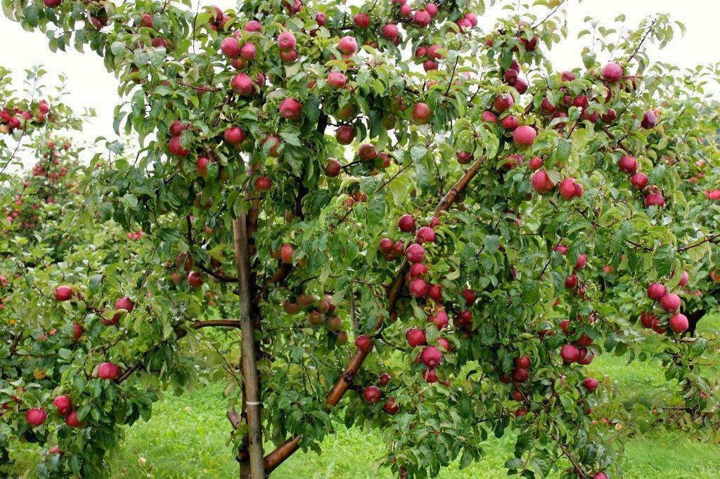 Посадка яблони осеньюсаженцами - сроки и правила посадки