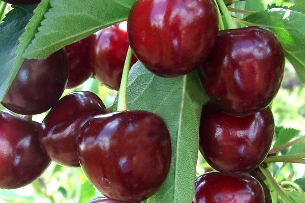 Обработка вишни от вредителей и болезней, в том числе как обработать весной, чем и как опрыскивать, сроки, препараты