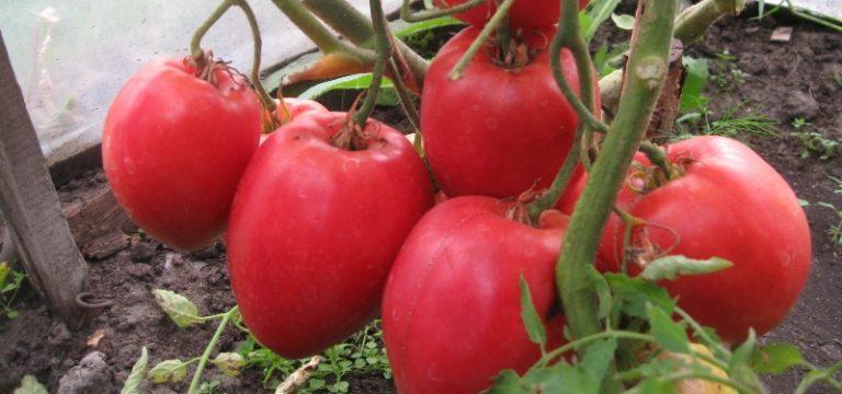 Томат большая мамочка (50 фото): описание помидор, отзывы, видео