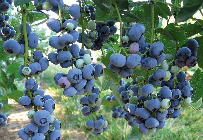 Сорта голубики садовой: 50 лучших видов с описанием и характеристиками   фото