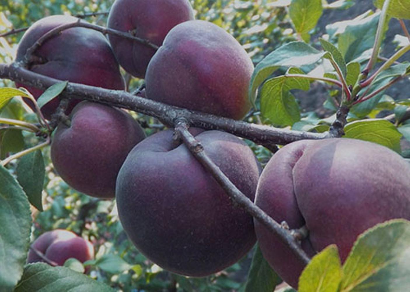 Сорта чрного абрикоса описание и характеристики