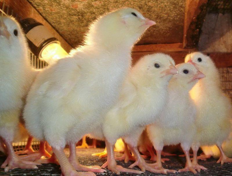 Что делать если дохнут цыплята