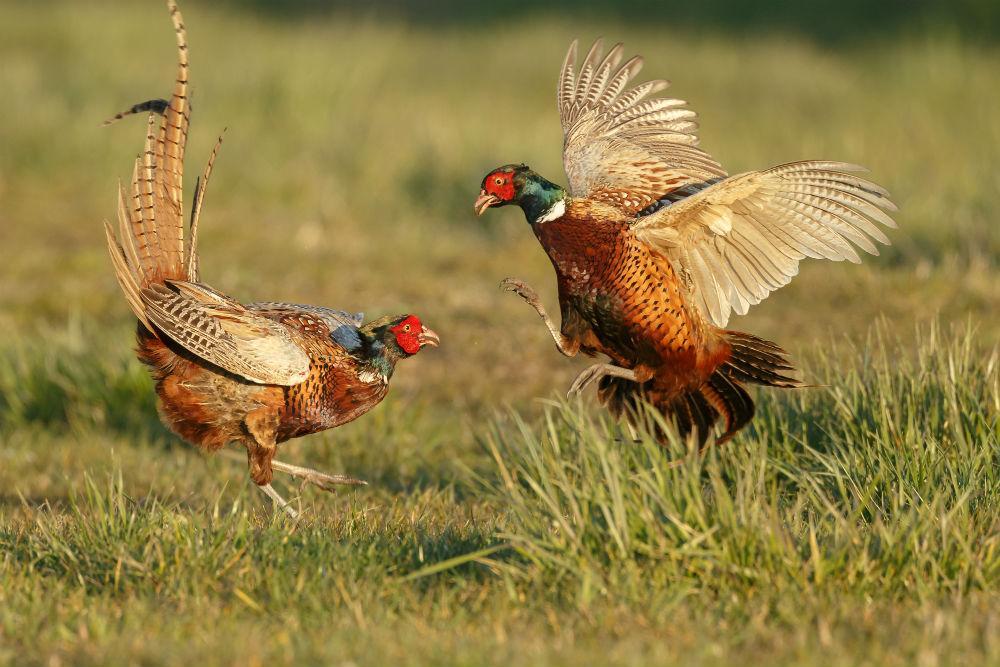 О фазанах: как поймать с помощью ловушки живую птицу в домашних условиях || Как найти гнездо фазана
