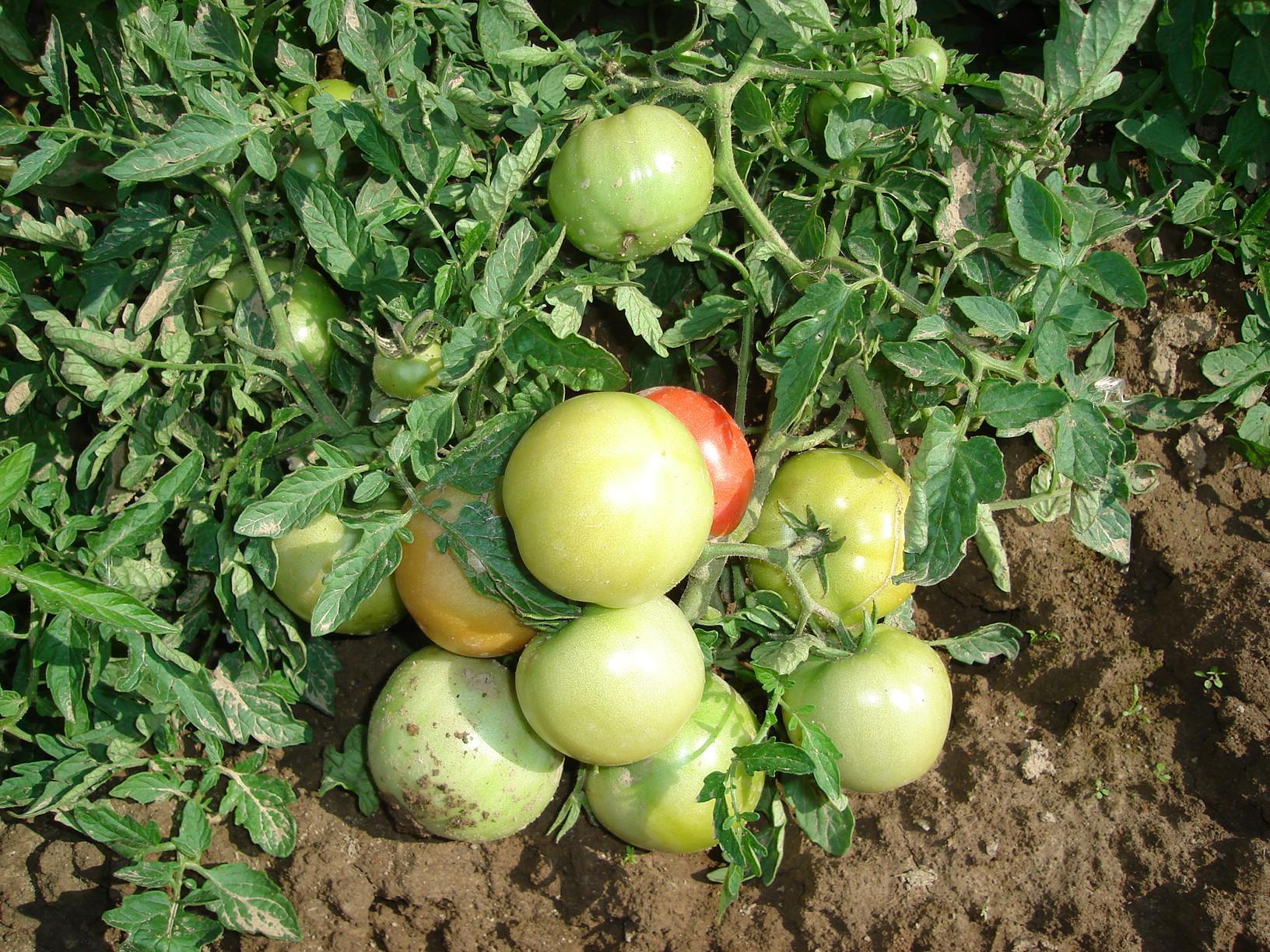 Что такое детерминантный и индетерминантный сорт томатов, отличия