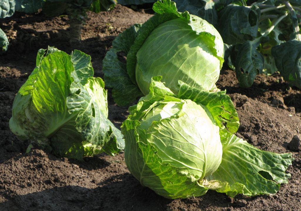 Как правильно сажать рассаду капусты