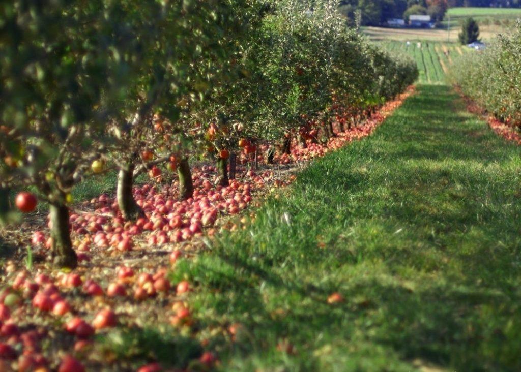 Схема размещения плодовых деревьев