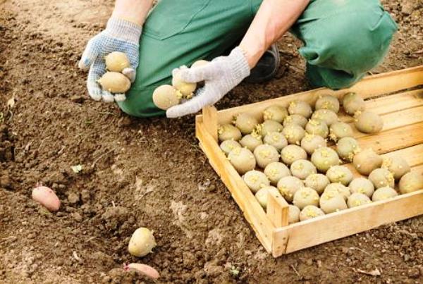 Когда садить картофель в Сибири