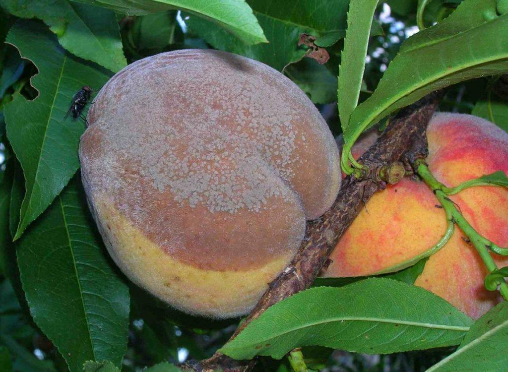 Самые распространенные болезни персика