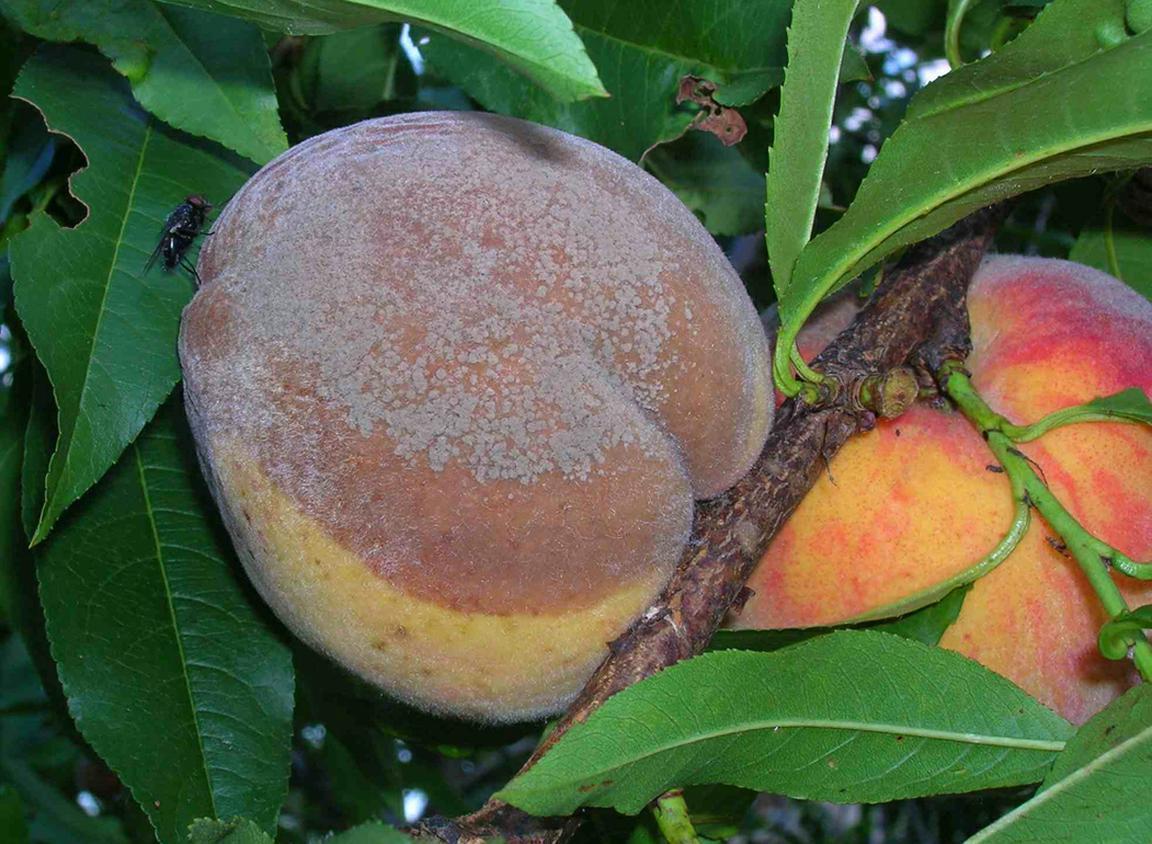 Самые распространенные болезни персика и их лечение