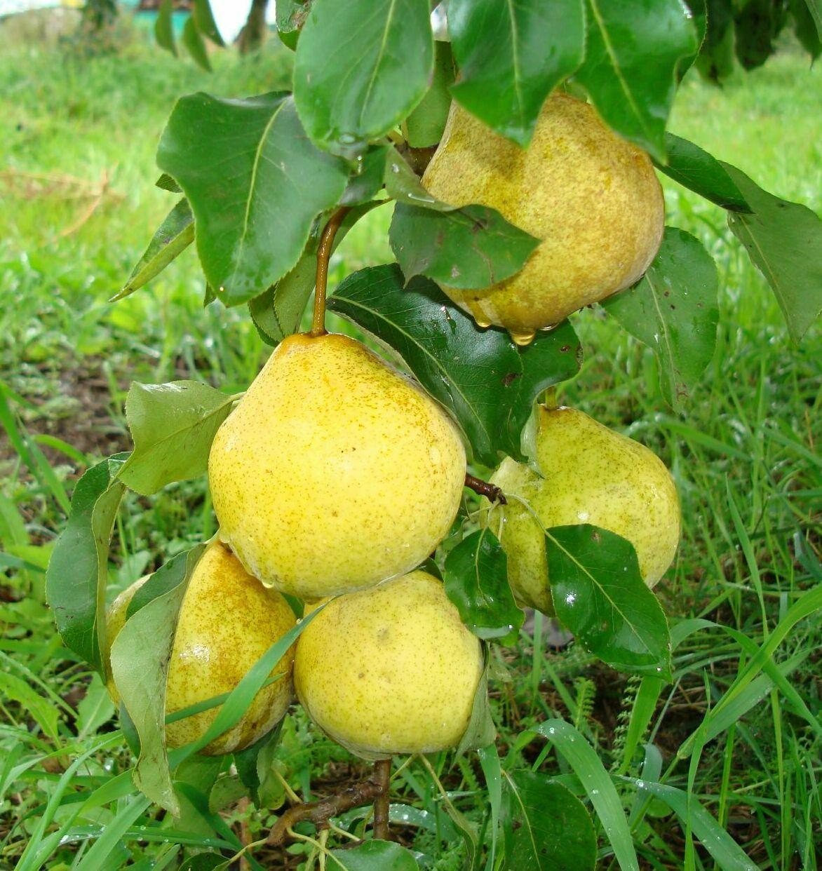 Поздние сорта груш в беларуси