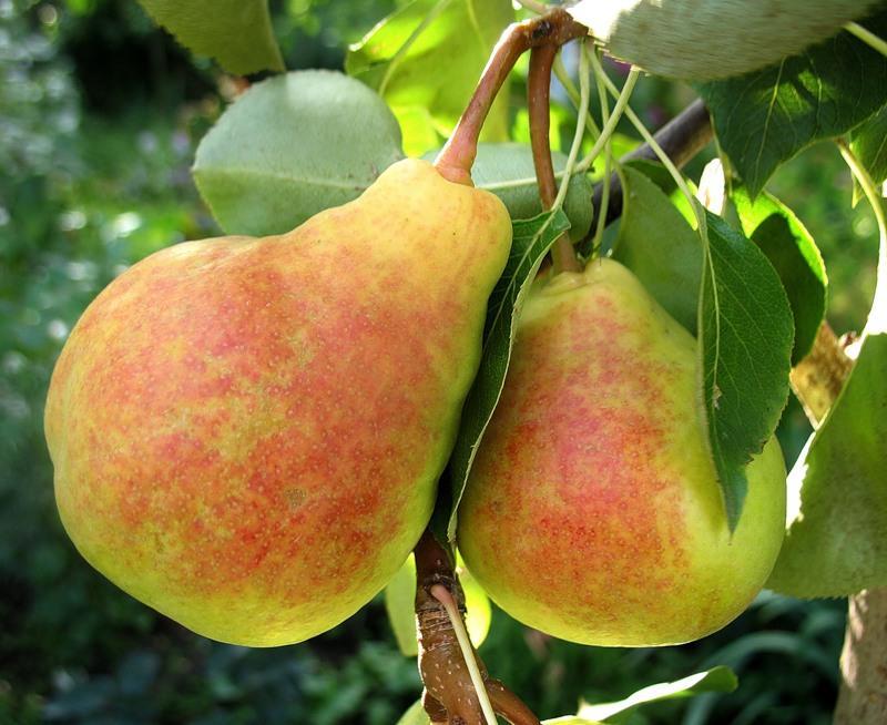 Как правильно выращивать саженцы груши сорт лада