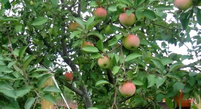 Посадка карликовых яблонь - плюсы и минусы