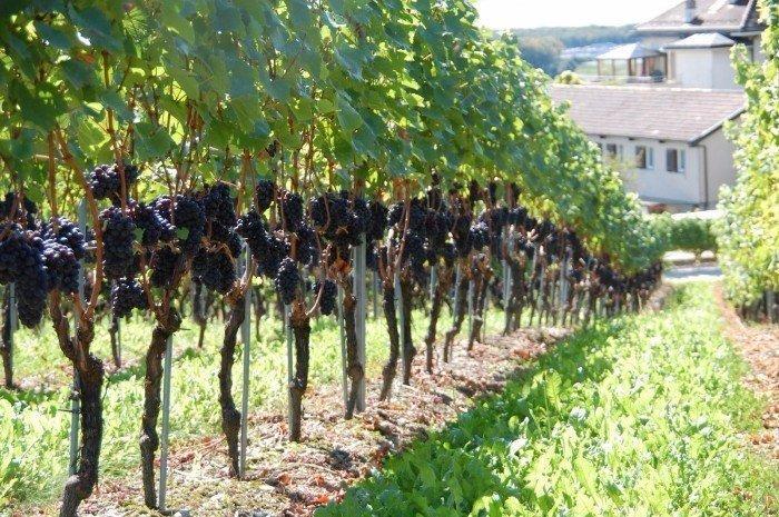 Использование нитроаммофоски для винограда – инструкция по применению