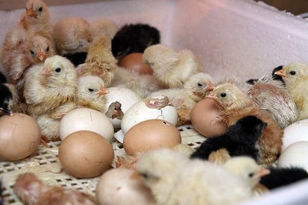 Как выглядит цыпленок в яйце