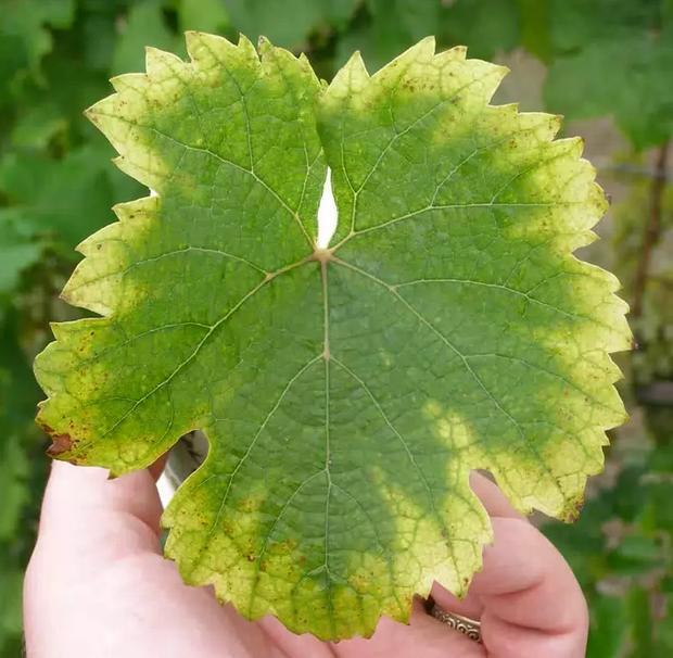 Пятна на листьях винограда что это