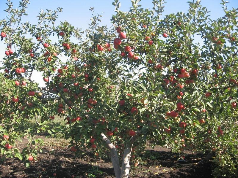 Яблоня джонатан описание сорта фото отзывы садоводов