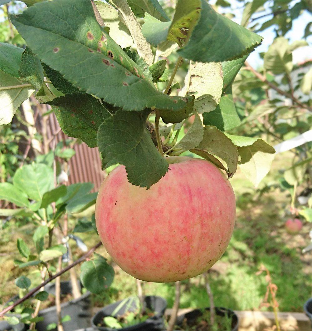 весна глаза яблоня сорт раннее сладкое описание фото отзывы если