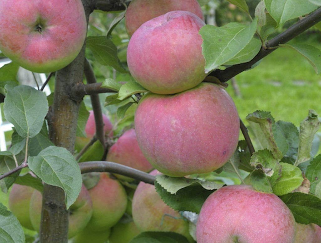 Яблоня Апорт: описание сорта, преимущества и недостатки видов