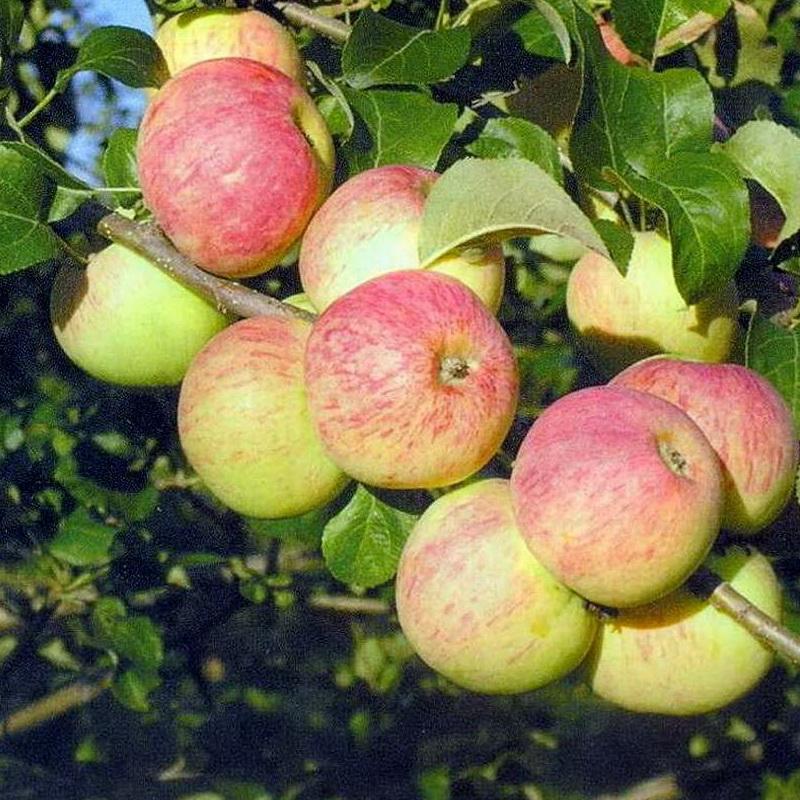 Яблоня Беркутовское, описание особенностей агротехники | 800x800