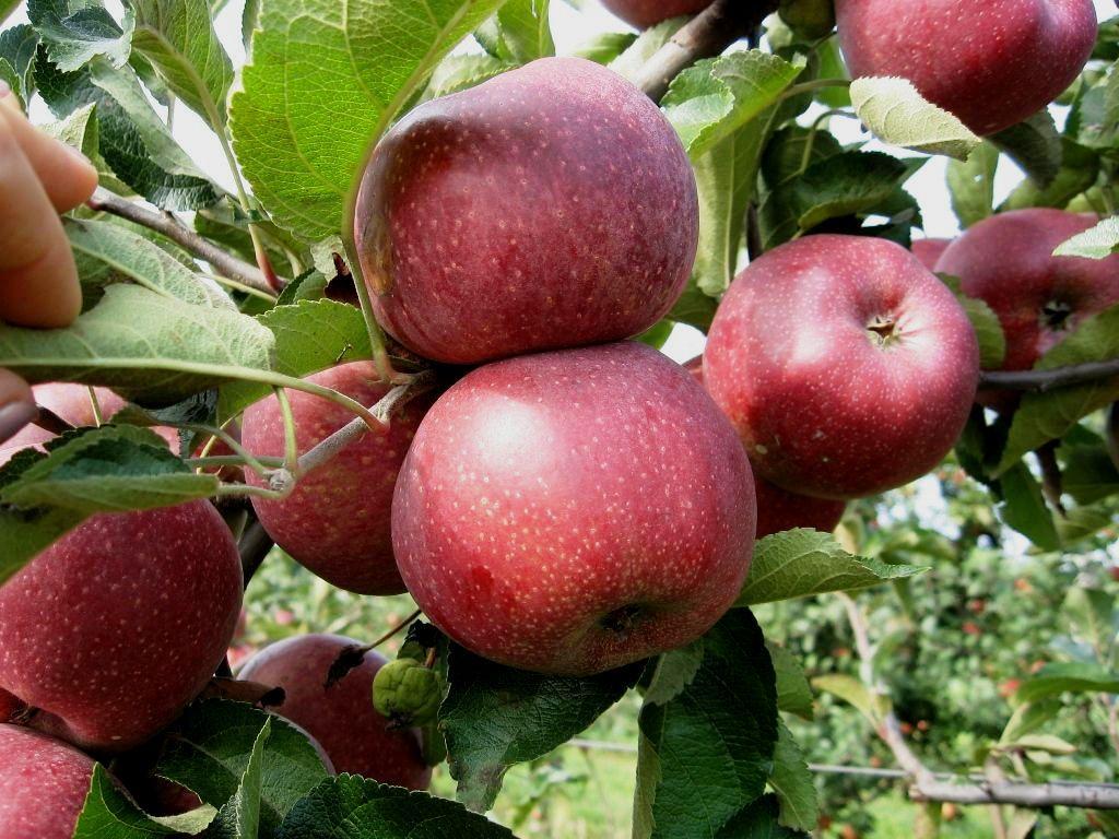 Яблоки Флорина: описание сорта с фото