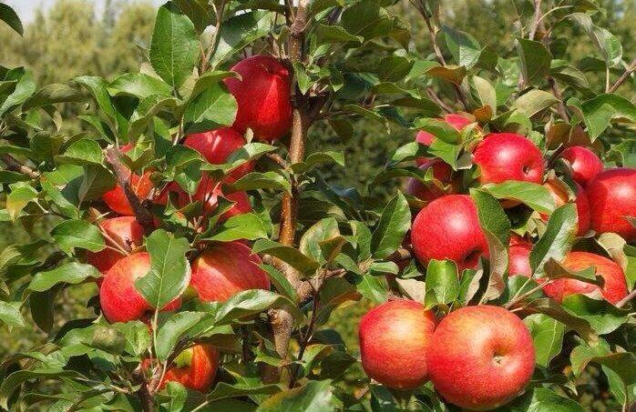 Сортовая характеристика яблони Хоней Крисп